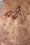 http://mczbase.mcz.harvard.edu/specimen_images/entomology/paleo/large/PALE-28946_Trichoptera_qm_pupa.jpg