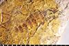 http://mczbase.mcz.harvard.edu/specimen_images/entomology/paleo/large/PALE-28966_Diptera.jpg