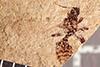 http://mczbase.mcz.harvard.edu/specimen_images/entomology/paleo/large/PALE-28987_Formicidae.jpg