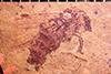 http://mczbase.mcz.harvard.edu/specimen_images/entomology/paleo/large/PALE-29007_Bibionidae.jpg