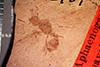 http://mczbase.mcz.harvard.edu/specimen_images/entomology/paleo/large/PALE-2901_Aphaenogaster_mayri_paratype.jpg
