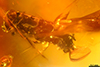 http://mczbase.mcz.harvard.edu/specimen_images/entomology/paleo/large/PALE-29057_Platypodinae.jpg