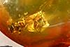 http://mczbase.mcz.harvard.edu/specimen_images/entomology/paleo/large/PALE-29058_Platypodinae_1.jpg