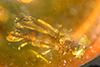 http://mczbase.mcz.harvard.edu/specimen_images/entomology/paleo/large/PALE-29058_Platypodinae_2.jpg