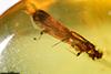 http://mczbase.mcz.harvard.edu/specimen_images/entomology/paleo/large/PALE-29060_Platypodinae.jpg