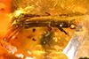http://mczbase.mcz.harvard.edu/specimen_images/entomology/paleo/large/PALE-29061_Platypodinae.jpg