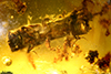 http://mczbase.mcz.harvard.edu/specimen_images/entomology/paleo/large/PALE-29063_Platypodinae.jpg