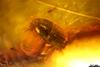 http://mczbase.mcz.harvard.edu/specimen_images/entomology/paleo/large/PALE-29064_Scolytinae_qm.jpg