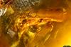 http://mczbase.mcz.harvard.edu/specimen_images/entomology/paleo/large/PALE-29068_syn2_Platypodinae.jpg