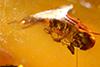 http://mczbase.mcz.harvard.edu/specimen_images/entomology/paleo/large/PALE-29073_syn1_Scolytinae.jpg