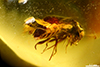 http://mczbase.mcz.harvard.edu/specimen_images/entomology/paleo/large/PALE-29084_Coleoptera.jpg