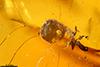 http://mczbase.mcz.harvard.edu/specimen_images/entomology/paleo/large/PALE-29087_syn4_Scolytinae.jpg