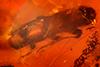 http://mczbase.mcz.harvard.edu/specimen_images/entomology/paleo/large/PALE-29098_Platypodinae.jpg