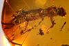http://mczbase.mcz.harvard.edu/specimen_images/entomology/paleo/large/PALE-29099_syn1_Platypodinae.jpg