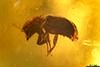 http://mczbase.mcz.harvard.edu/specimen_images/entomology/paleo/large/PALE-29103_Scolytinae.jpg