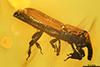 http://mczbase.mcz.harvard.edu/specimen_images/entomology/paleo/large/PALE-29150_syn1_Cossoninae.jpg