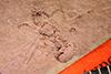 Media of type image, MCZ:Ent:PALE-2918 Identified as Pheidole tertiaria type status Holotype of Pheidole tertiaria.