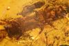 http://mczbase.mcz.harvard.edu/specimen_images/entomology/paleo/large/PALE-29214_Platypodinae.jpg