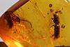 http://mczbase.mcz.harvard.edu/specimen_images/entomology/paleo/large/PALE-29219_Platypodinae.jpg