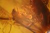 http://mczbase.mcz.harvard.edu/specimen_images/entomology/paleo/large/PALE-29219_syn4_Pseudoscorpionida.jpg