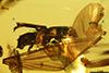 http://mczbase.mcz.harvard.edu/specimen_images/entomology/paleo/large/PALE-29221_Platypodinae.jpg
