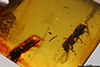 http://mczbase.mcz.harvard.edu/specimen_images/entomology/paleo/large/PALE-29223_Platypodinae.jpg