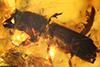 http://mczbase.mcz.harvard.edu/specimen_images/entomology/paleo/large/PALE-29224_syn1_Platypodinae.jpg