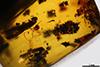 http://mczbase.mcz.harvard.edu/specimen_images/entomology/paleo/large/PALE-29226_Platypodinae.jpg