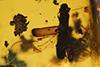http://mczbase.mcz.harvard.edu/specimen_images/entomology/paleo/large/PALE-29226_syn1_Platypodinae.jpg