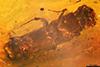 http://mczbase.mcz.harvard.edu/specimen_images/entomology/paleo/large/PALE-29227_Platypodinae.jpg