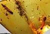 http://mczbase.mcz.harvard.edu/specimen_images/entomology/paleo/large/PALE-29228_Platypodinae.jpg