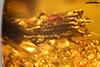 http://mczbase.mcz.harvard.edu/specimen_images/entomology/paleo/large/PALE-29229_Platypodinae_1.jpg