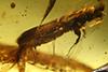 http://mczbase.mcz.harvard.edu/specimen_images/entomology/paleo/large/PALE-29230_Platypodinae.jpg