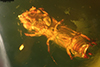 http://mczbase.mcz.harvard.edu/specimen_images/entomology/paleo/large/PALE-29234_Platypodinae.jpg