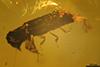 http://mczbase.mcz.harvard.edu/specimen_images/entomology/paleo/large/PALE-29238_Platypodinae.jpg