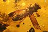 http://mczbase.mcz.harvard.edu/specimen_images/entomology/paleo/large/PALE-29239_syn1_Platypodinae.jpg