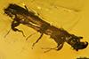 http://mczbase.mcz.harvard.edu/specimen_images/entomology/paleo/large/PALE-29241_syn1_Platypodinae.jpg