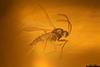 http://mczbase.mcz.harvard.edu/specimen_images/entomology/paleo/large/PALE-29241_syn2_Sciaridae.jpg