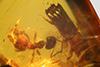 http://mczbase.mcz.harvard.edu/specimen_images/entomology/paleo/large/PALE-29246_Platypodinae.jpg