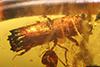 http://mczbase.mcz.harvard.edu/specimen_images/entomology/paleo/large/PALE-29246_syn1_Platypodinae.jpg