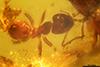 http://mczbase.mcz.harvard.edu/specimen_images/entomology/paleo/large/PALE-29246_syn2_Formicidae.jpg