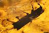http://mczbase.mcz.harvard.edu/specimen_images/entomology/paleo/large/PALE-29247_syn1_Platypodinae.jpg