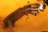 http://mczbase.mcz.harvard.edu/specimen_images/entomology/paleo/large/PALE-29247_syn2_Platypodinae.jpg