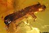 http://mczbase.mcz.harvard.edu/specimen_images/entomology/paleo/large/PALE-29253_Platypodinae.jpg