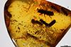 http://mczbase.mcz.harvard.edu/specimen_images/entomology/paleo/large/PALE-29255_Platypodinae.jpg