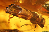 http://mczbase.mcz.harvard.edu/specimen_images/entomology/paleo/large/PALE-29255_syn2_Platypodinae.jpg
