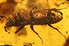 http://mczbase.mcz.harvard.edu/specimen_images/entomology/paleo/large/PALE-29255_syn3_Platypodinae.jpg