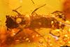 http://mczbase.mcz.harvard.edu/specimen_images/entomology/paleo/large/PALE-29255_syn4_Platypodinae.jpg
