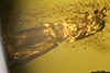 http://mczbase.mcz.harvard.edu/specimen_images/entomology/paleo/large/PALE-29266_Platypodinae_1.jpg