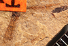 http://mczbase.mcz.harvard.edu/specimen_images/entomology/paleo/large/PALE-301_Mesobrochus_lethaeus_type.jpg